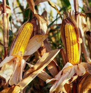 corn drying temperature