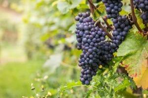 grape vine weather conditions