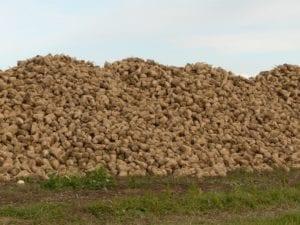 sugar beet storage
